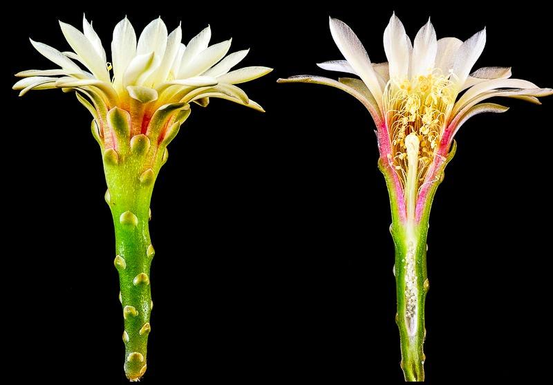 Gymnocalycium schroederianum ssp schroederianum P 397