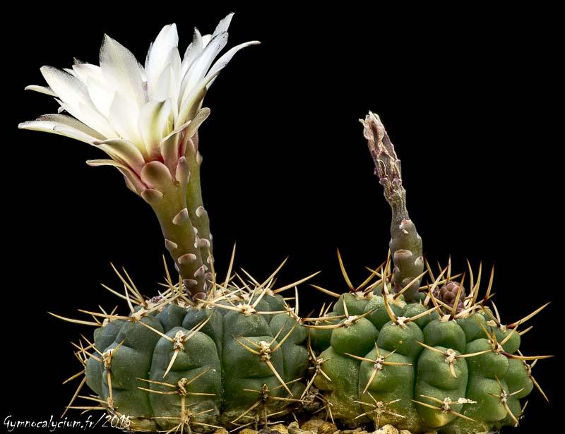 Gymnocalycium schroederianum ssp paucicostatum LB 960.