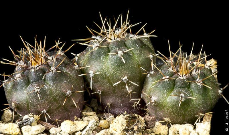 Gymnocalycium reductum ssp reductum (sibalii JPR 77-173)