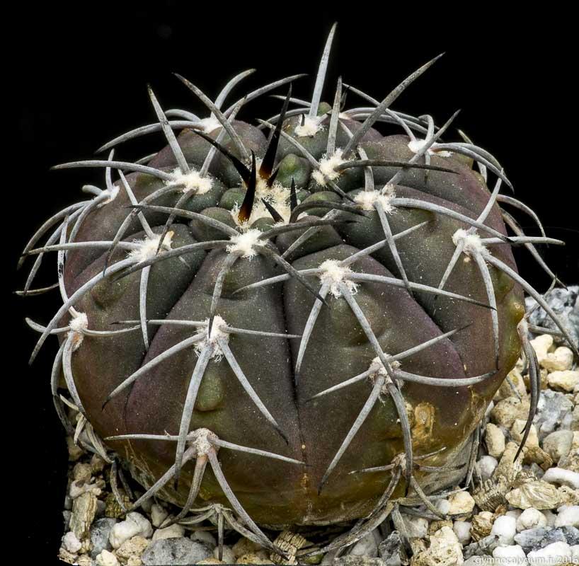 Gymnocalycium spegazzinii. Autre sujet d'origine P. Richaud.