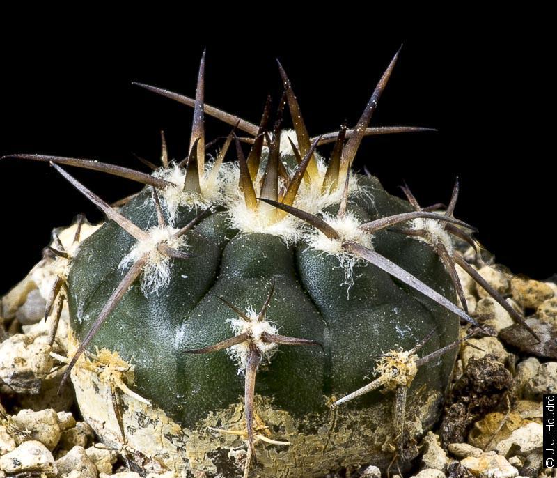 Gymnocalycium spegazzinii ssp spegazzinii RFPA 125-01.