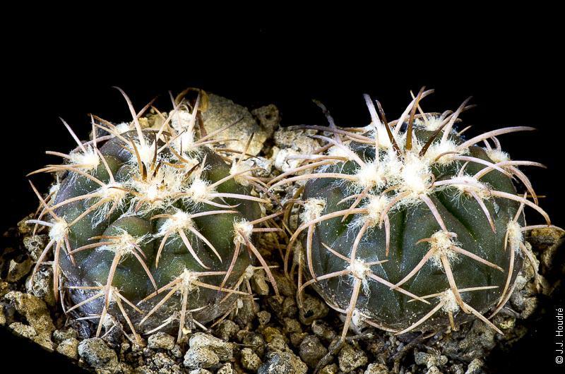 Gymnocalycium spegazzinii v. punillense GN 88-39/68.