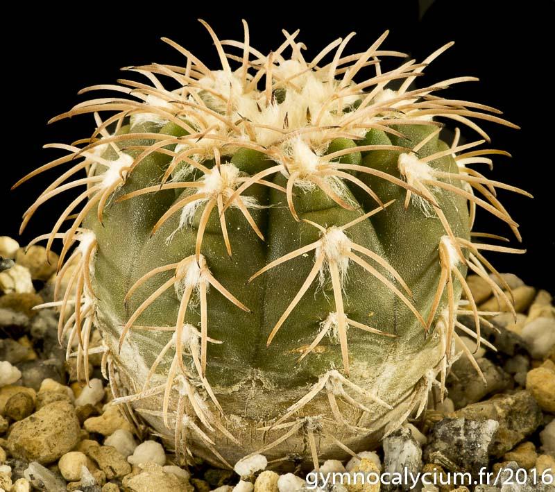 Gymnocalycium spegazzinii v. punillense GN 88/39-68. Même sujet à 8 ans.