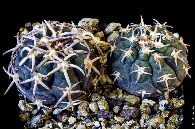 Gymnocalycium spegazzinii ssp spegazzinii v. unguispinum SL 44b.