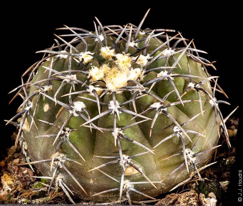 Gymnocalycium quehlianum (stellatum)
