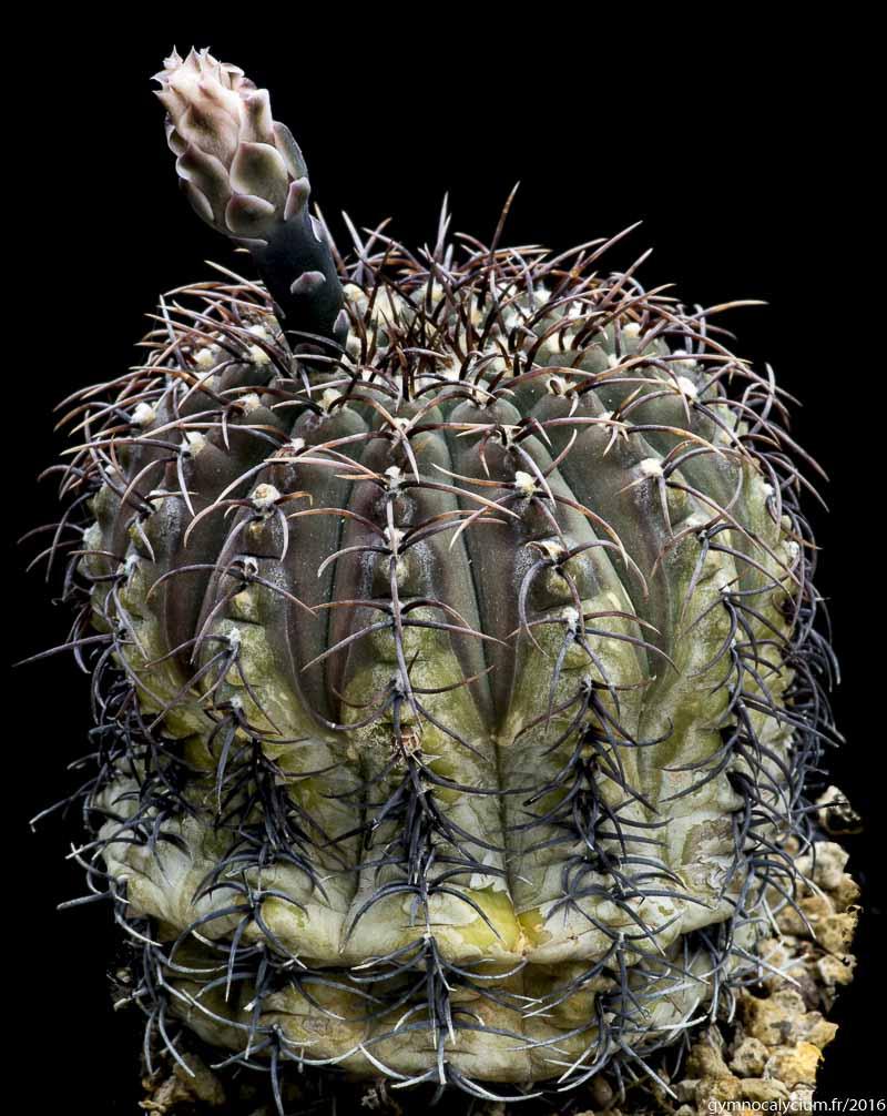 Gymnocalycium stellatum. Sujet de 22 ans, origine Uhlig.