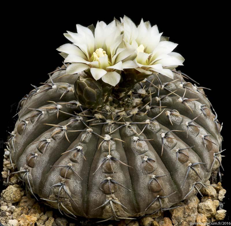 Gymnocalycium bodenbenderianum (stellatum ssp occultum). Même sujet