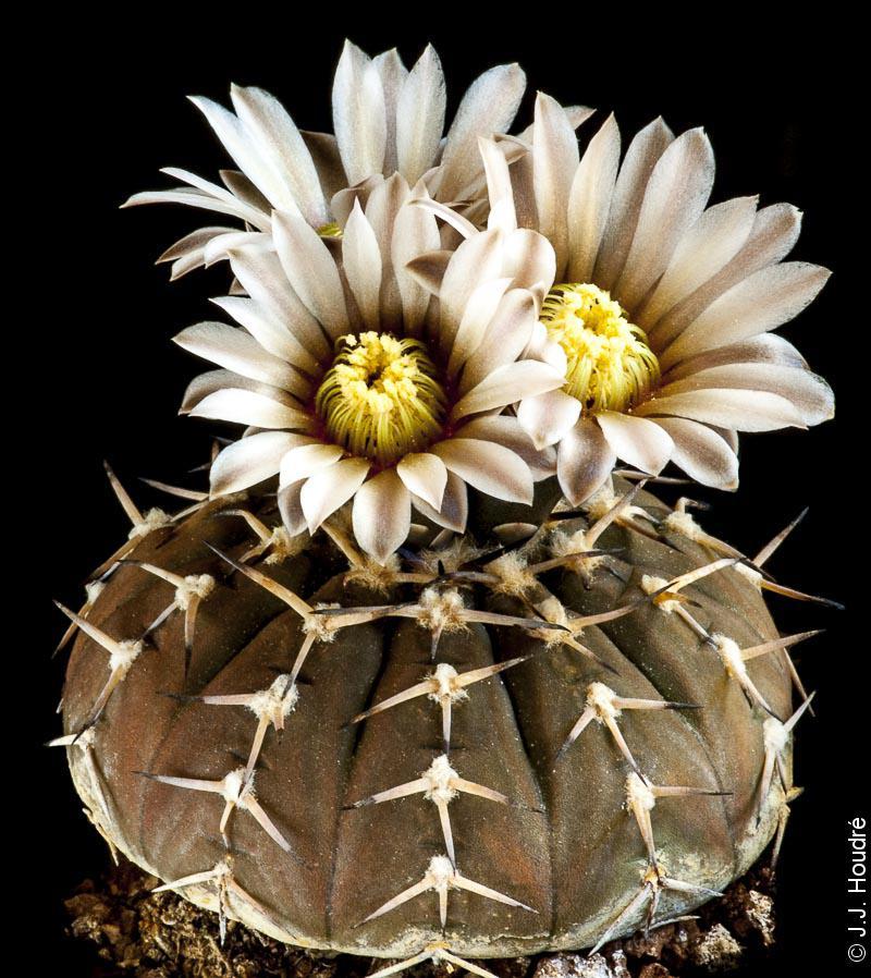 Gymnocalycium bodenbenderianum (stellatum v. paucispinum)
