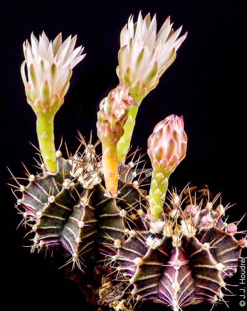 Gymnocalycium stenopleurum