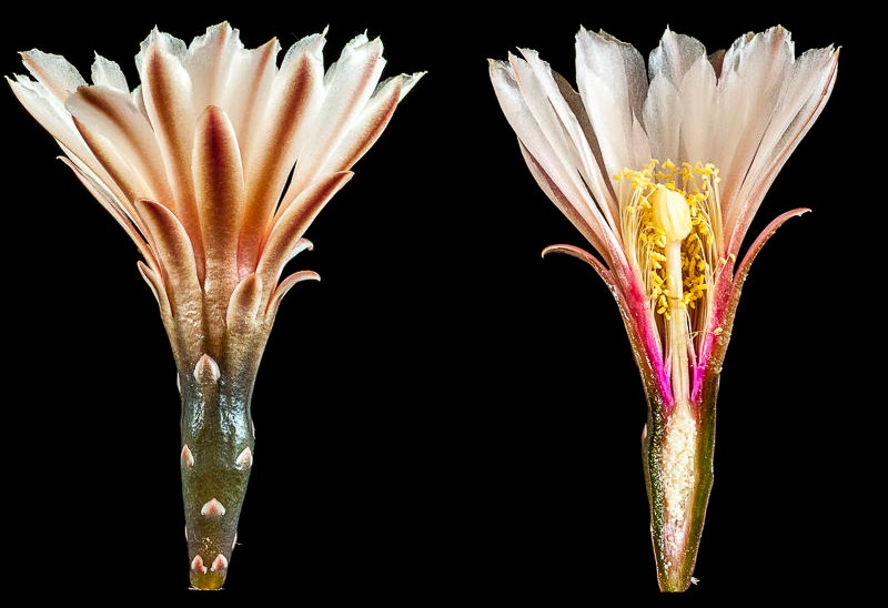 Gymnocalycium striglianum.