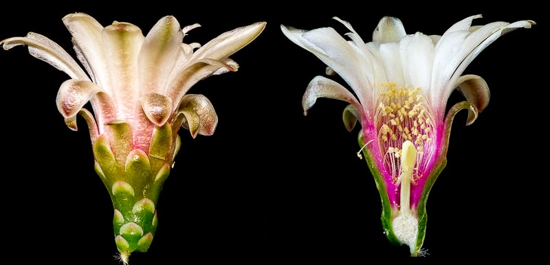 Gymnocalycium mostii ssp valnicekianum, coupe longitudinale d'une fleur