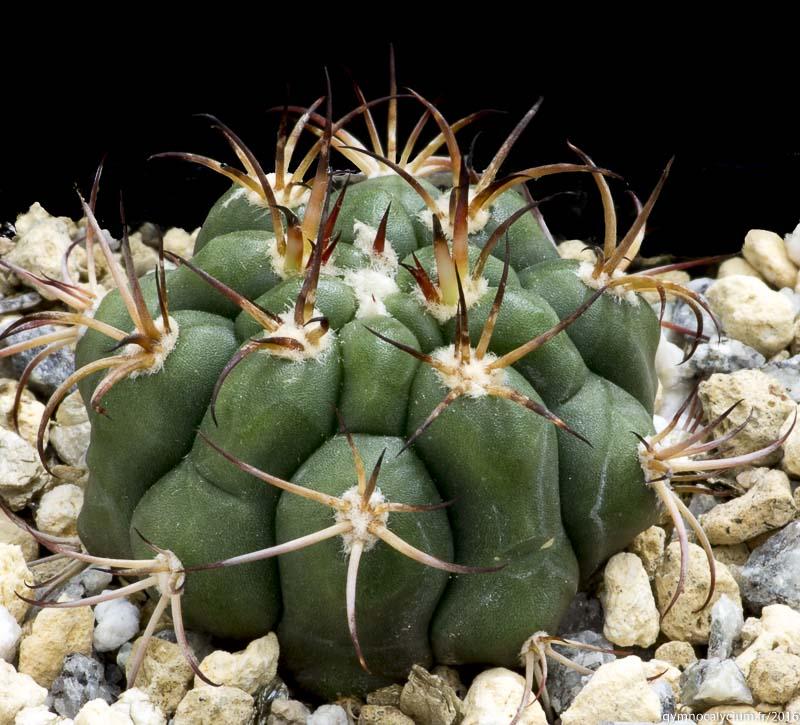 Gymnocalycium pflanzii ssp zegarrae RH 2551b. Bolivie, C'Bamba Campero, Saipina, 1500 m. <br />Sujet de 5 ans, origine Didier Roux.