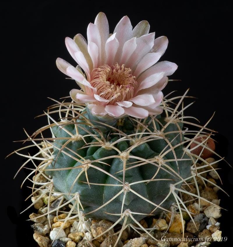 Gymnocalycium rhodantherum RFPA 264.01