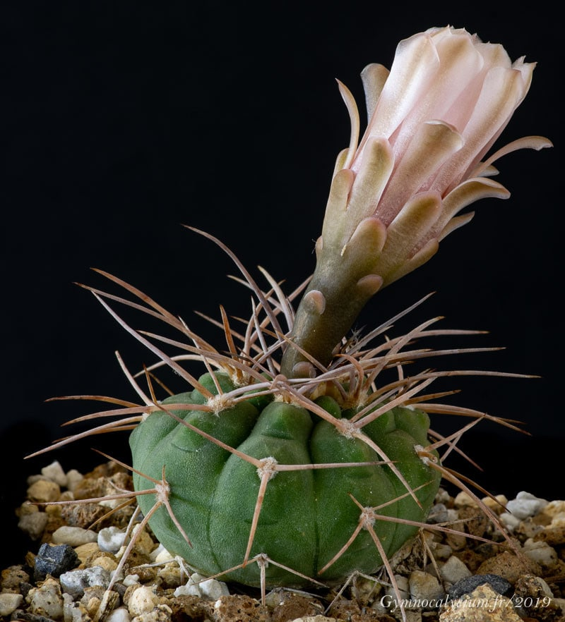 Gymnocalycium rhodantherum (coloradense RFPA 301.02)