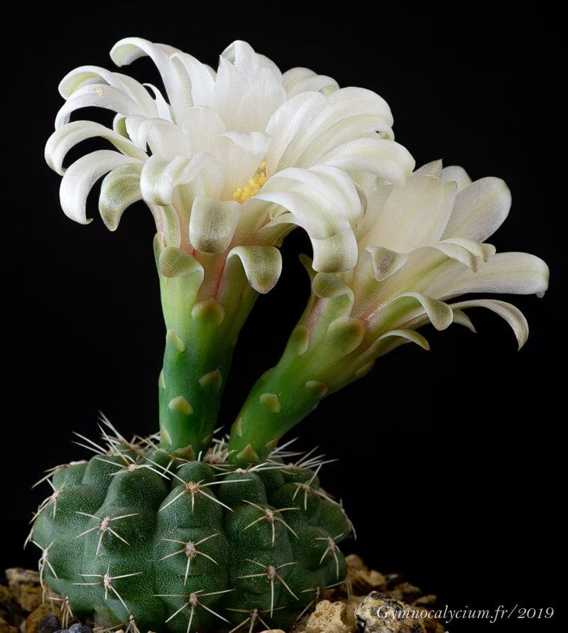 Gymnocalycium quehlianum RFPA 324.02