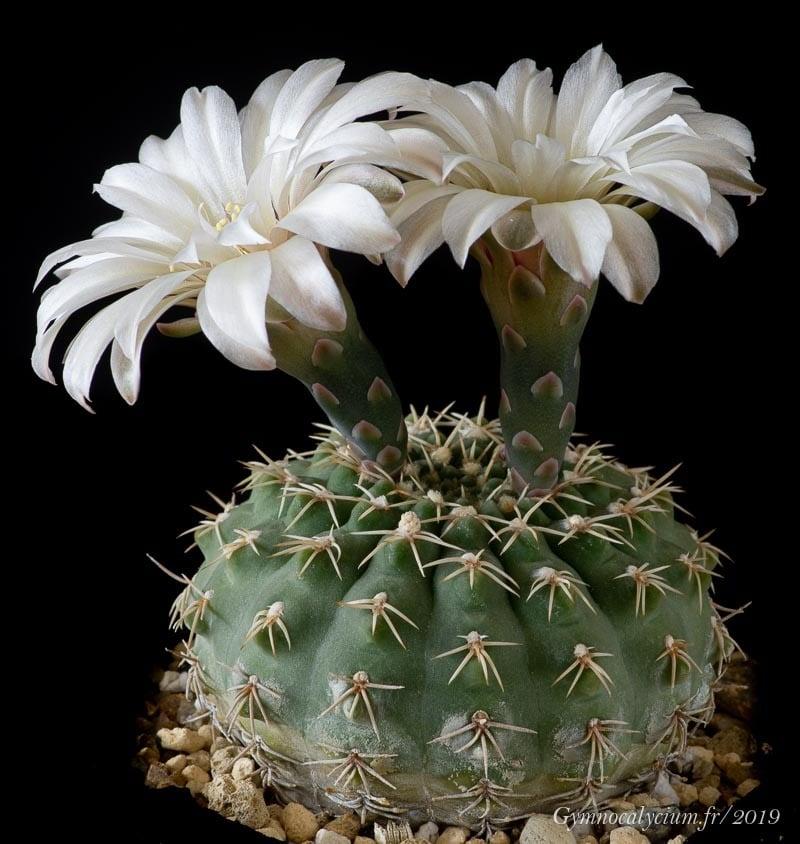 Gymnocalycium quehlianum (v. albispinum)