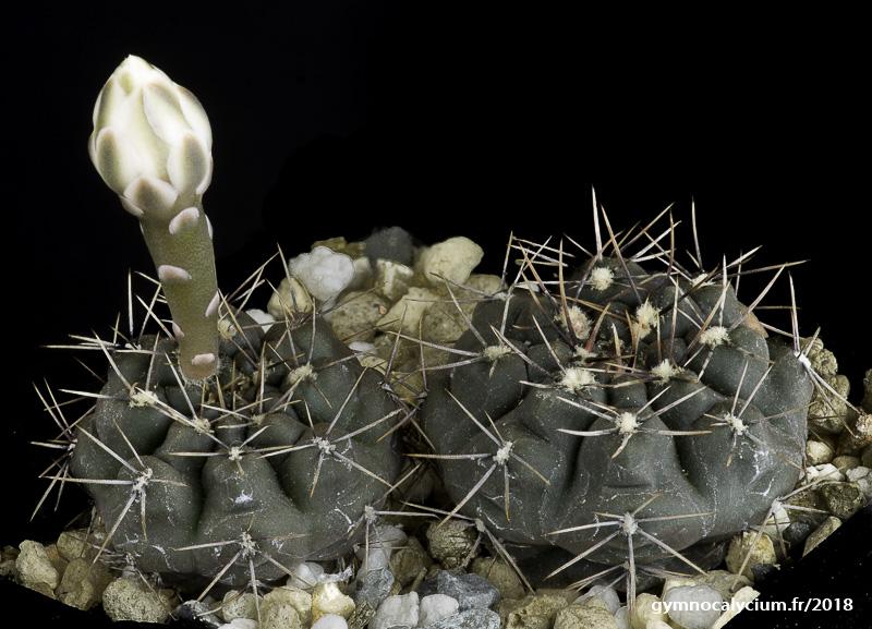 Gymnocalycium taningaense (lukasikii v. emilii LB 0312) même sujet à 4 ans
