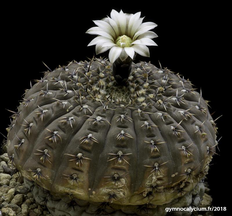 Gymnocalycium bodenbenderianum (stellatum ssp occultum).
