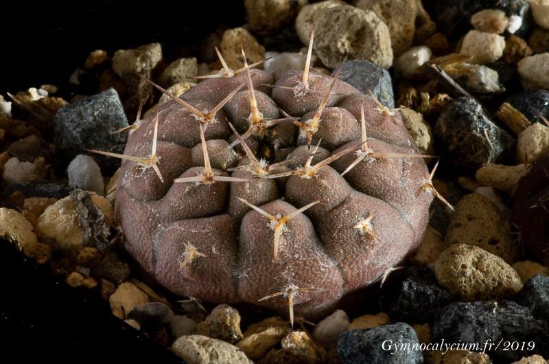 Gymnocalycium bodenbenderianum fma guthianum CH 1133