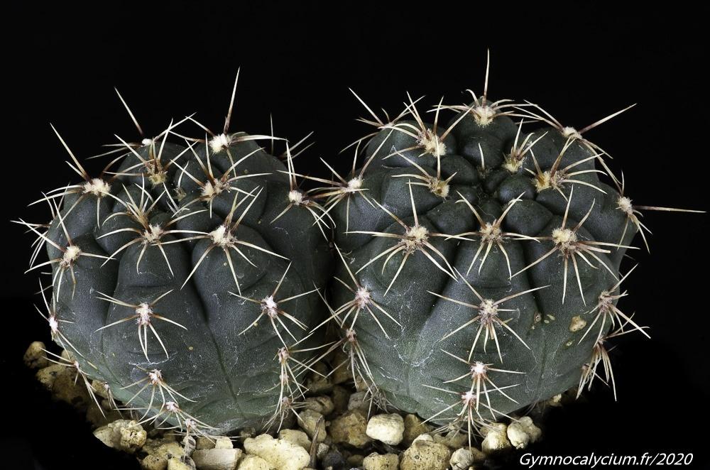 Gymnocalycium pinali MM 1365