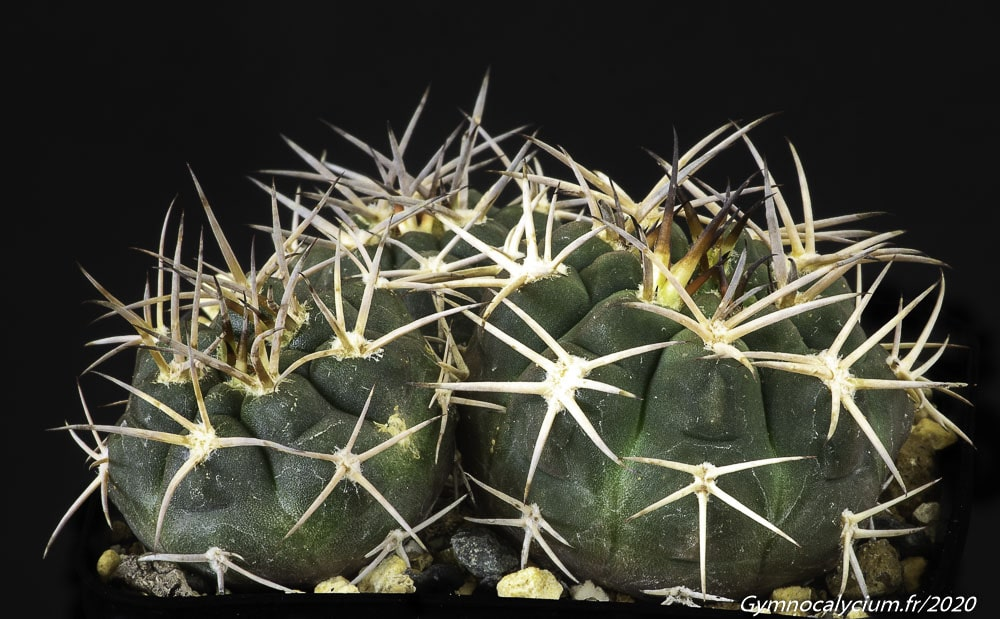 Gymnocalycium pugionacanthum sensu Till LF 27a