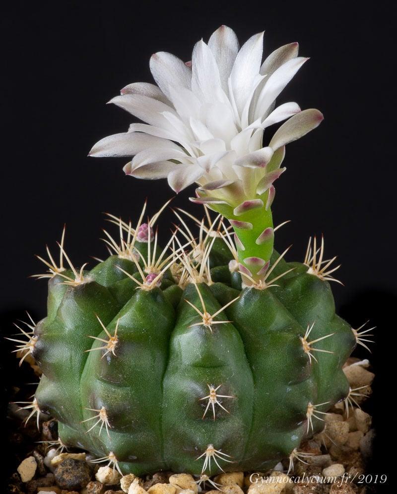 Gymnocalycium anisitsii ssp anisitsii LB 5457