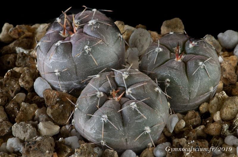 ymnocalycium berchtii LB 320