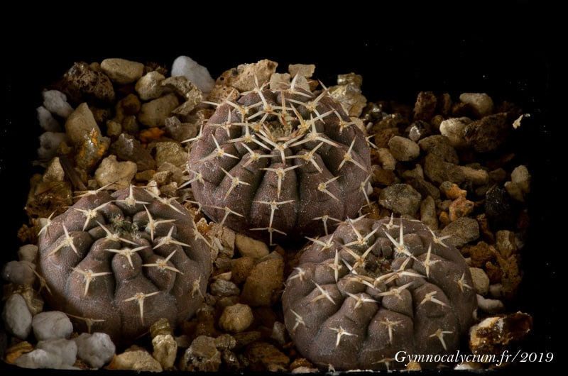 Gymnocalycium bodenbenderianum fa kozelskyanum JO 1040.1