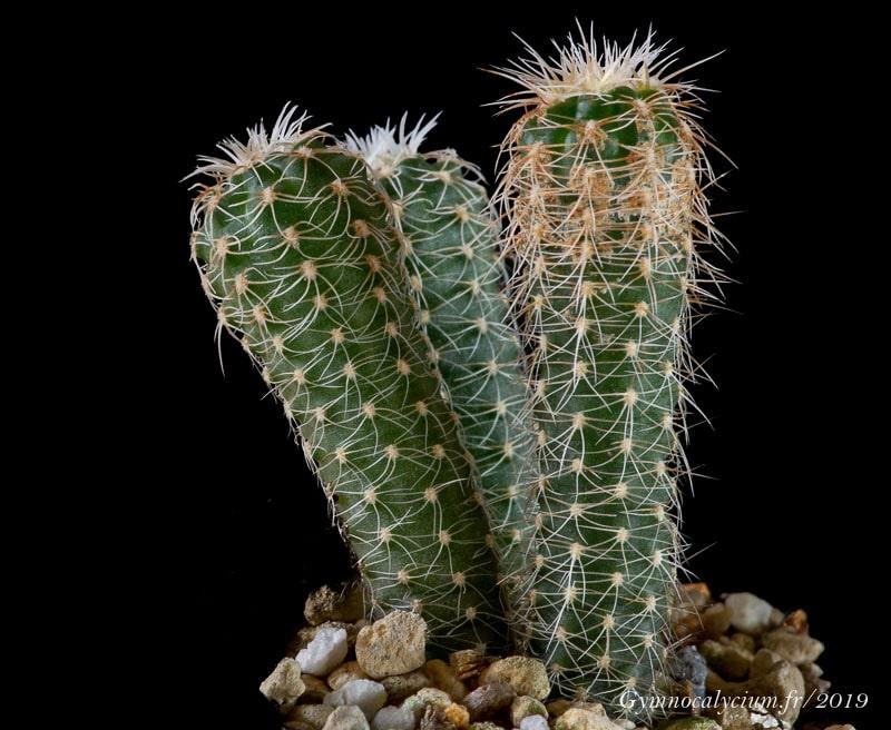 Gymnocalycium bruchii ssp. ludwigii ssp eltrebolense WP 76-100