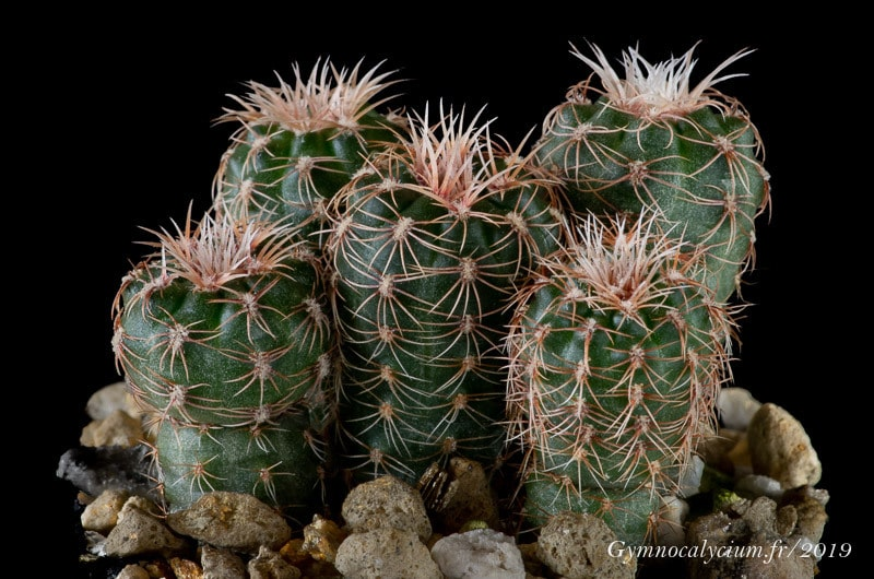 Gymnocalycium bruchii v. shimadae GN 531/4007