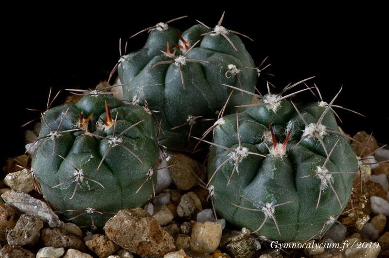 Gymnocalycium fischeri v. montedeoroensis n.p. MT 07-143