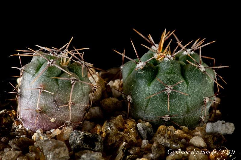 Gymnocalycium fischeri v. montedeoroensis n.p. WP 349-741