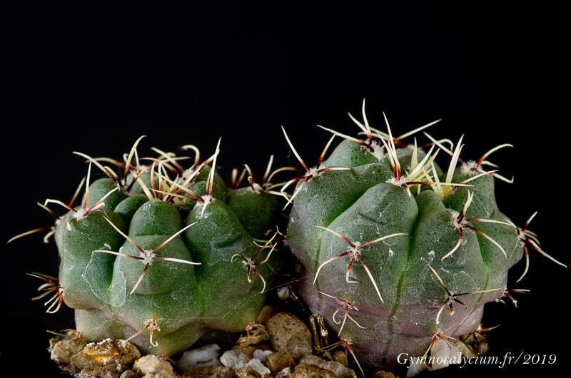 Gymnocalycium gaponii ssp. geyeri MT 08-409