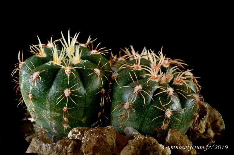 Gymnocalycium hyptiacanthum ssp. melanocarpum MM 554