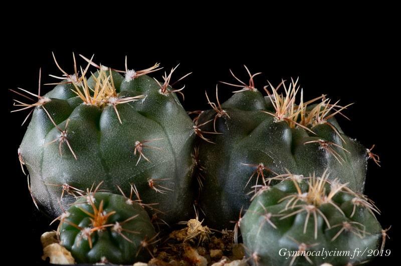 Gymnocalycium leptanthum JO 1029.01