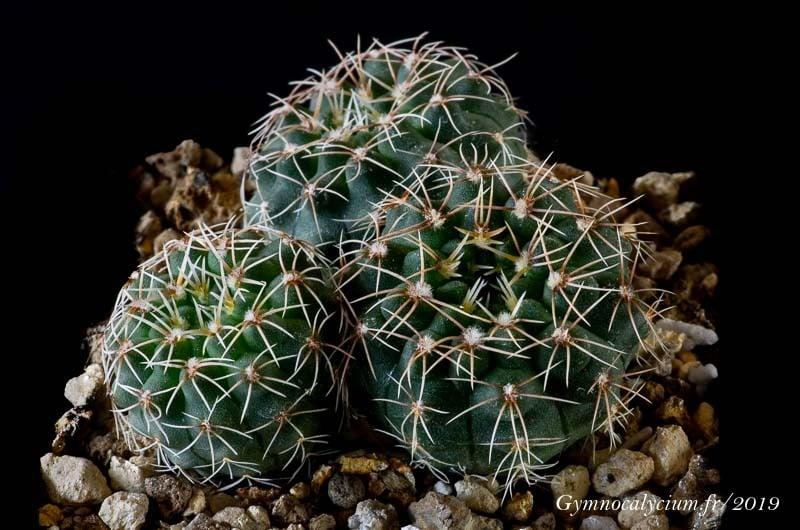 Gymnocalycium quehlianum v. flavispinum JO 878.1