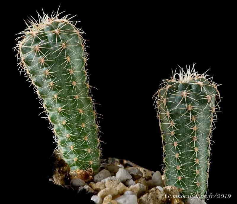 Gymnocalycium bruchii ssp. deminii MN 80