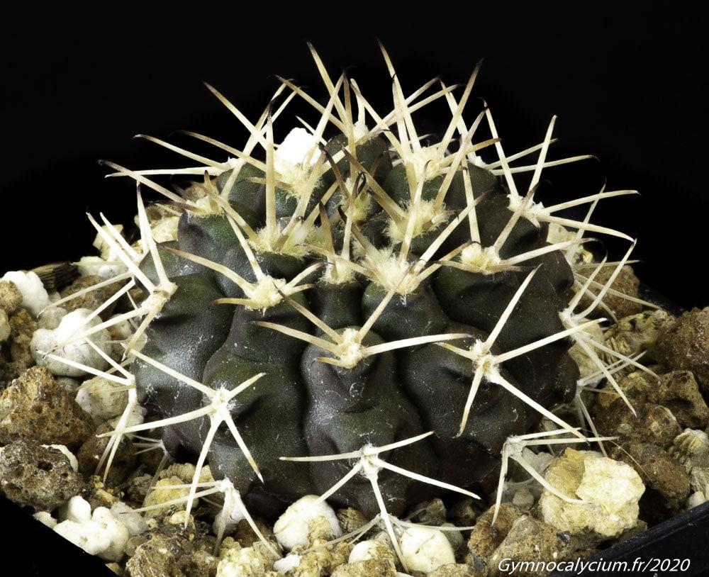 Gymnocalycium marsoneri JN 1203