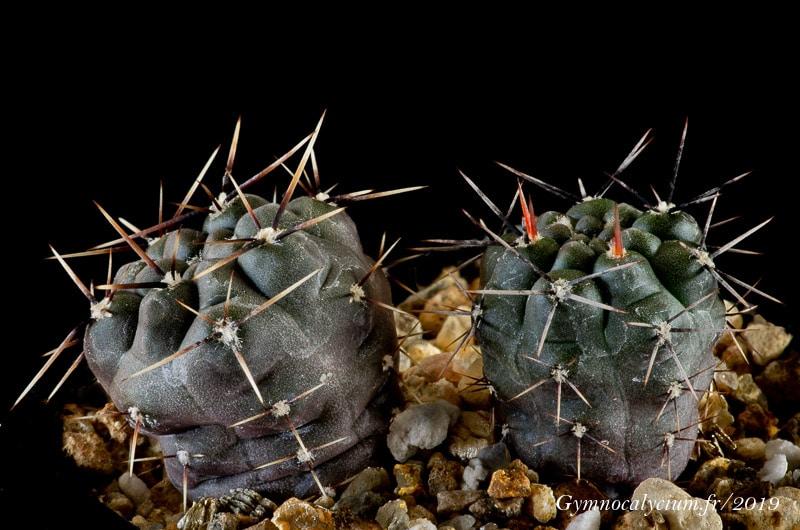 Gymnocalycium gibbosum var. nobile SC037