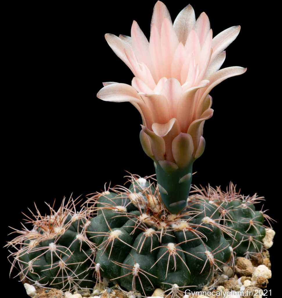 Gymnocalycium sutterianum (Schick) Hosseus subsp. arachnispinum Repka, subsp. Nov. RER 453 à 4 ans.
