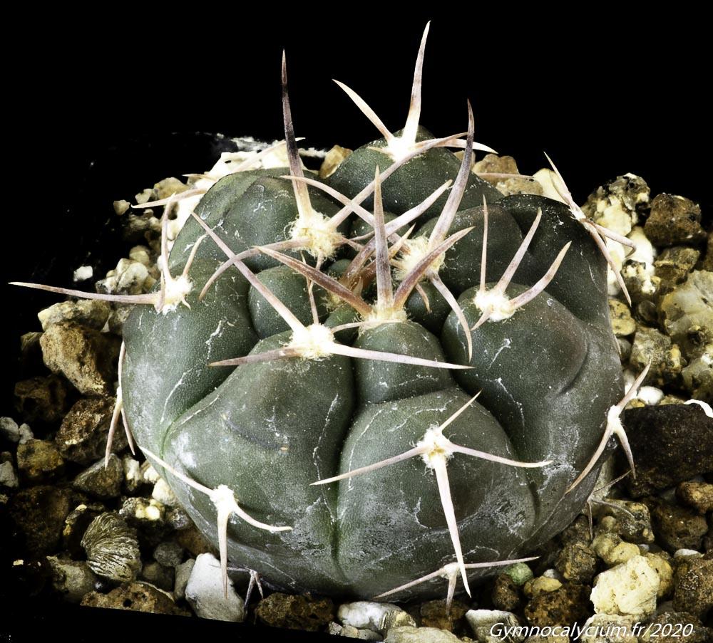 Gymnocalycium prochazkianum ssp simile RER 701