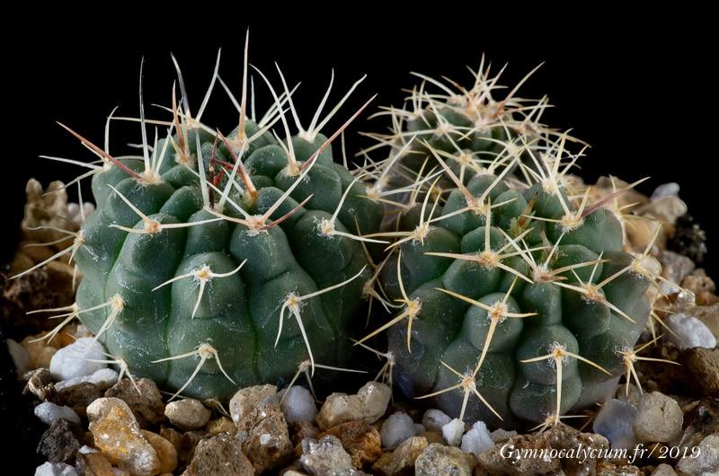 Gymnocalycium prochazkianum ssp simplex RER 526