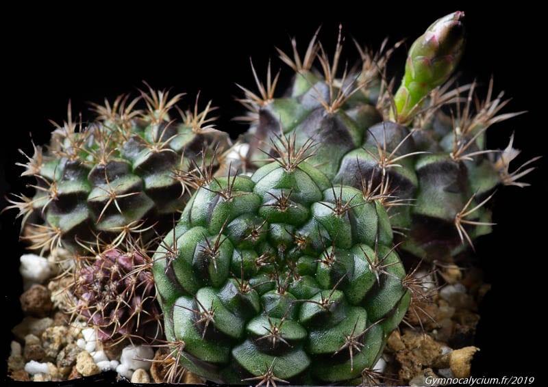 Gymnocalycium damsii ssp. evae v. rotundulum VOS 03-047