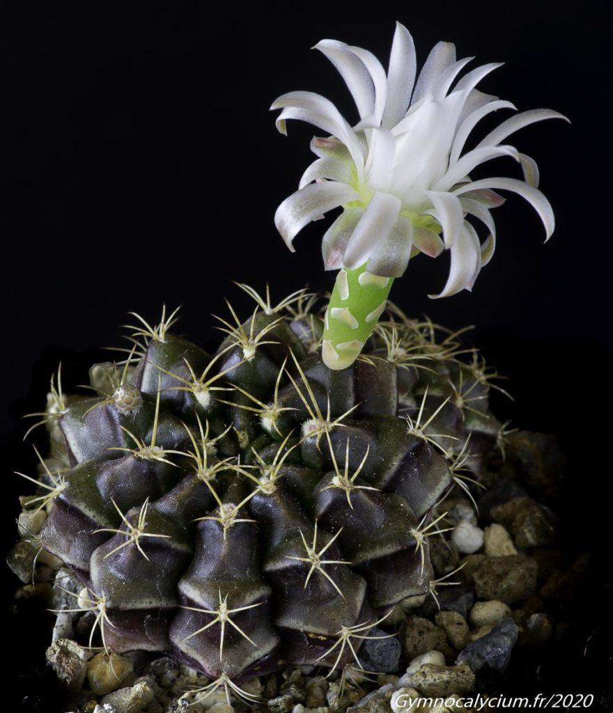 Gymnocalycium damsii ssp. evae v. torulosum VOS 03-040