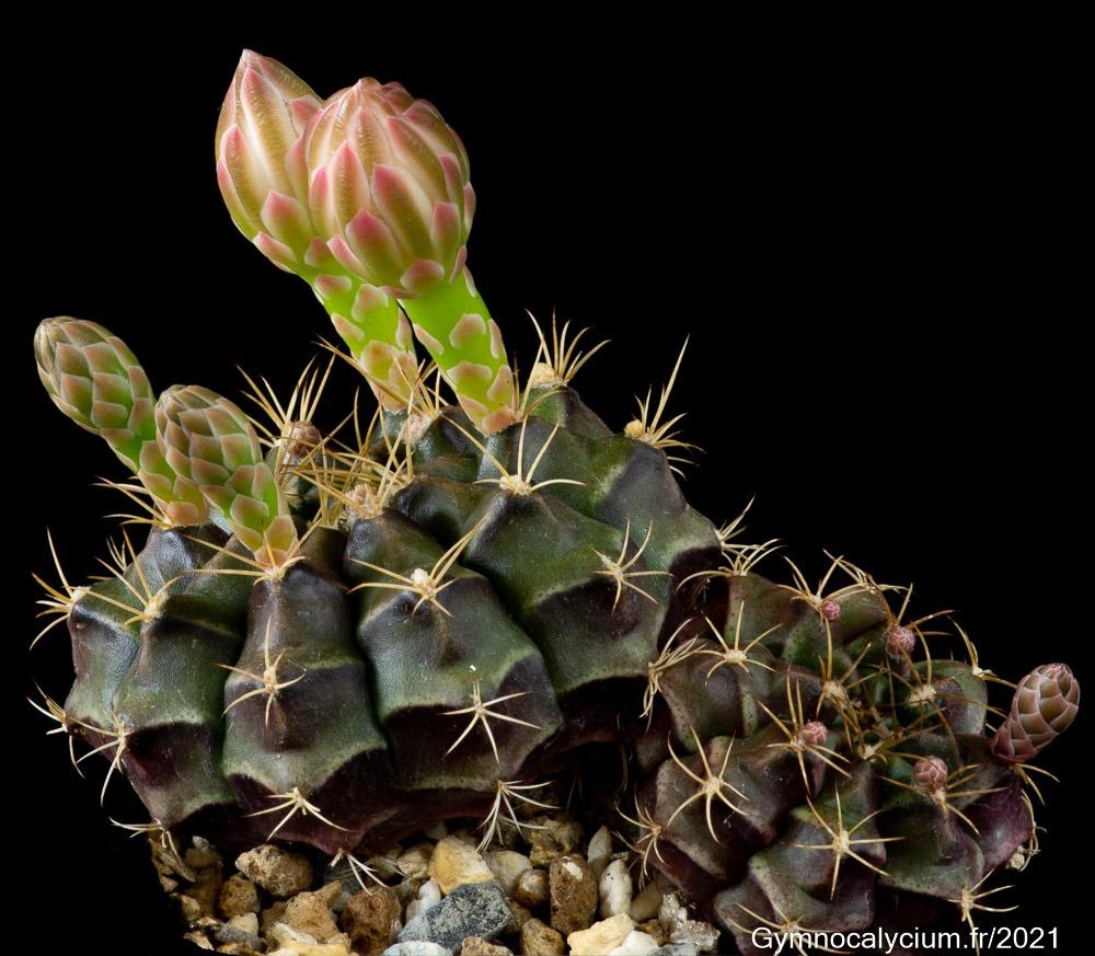 Gymnocalycium damsii ssp. evae v. torulosum VOS 03-040 à 4 ans.