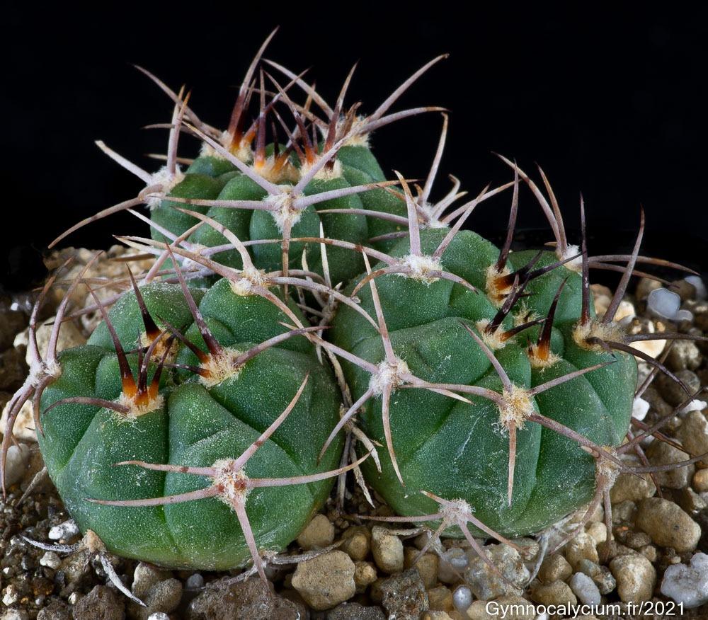 Gymnocalycium nigriareolatum v. simoi HV 1404