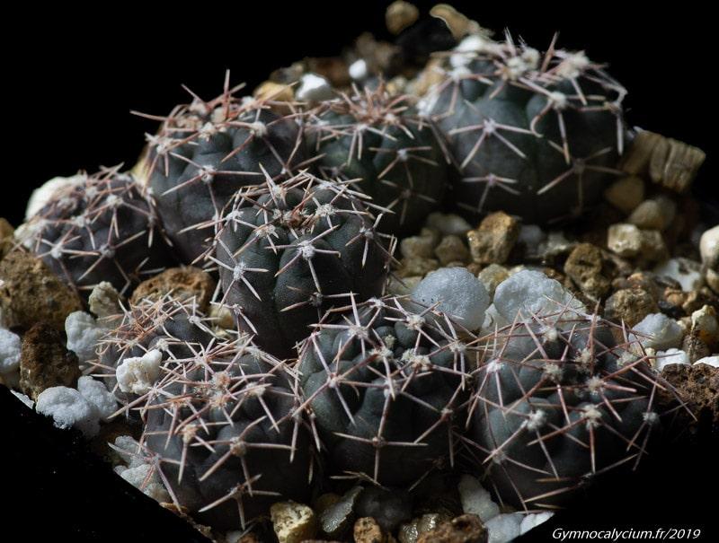 Gymnocalycium poeschlii HV 1257