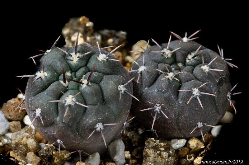 Gymnocalycium schmidianum LB 4907