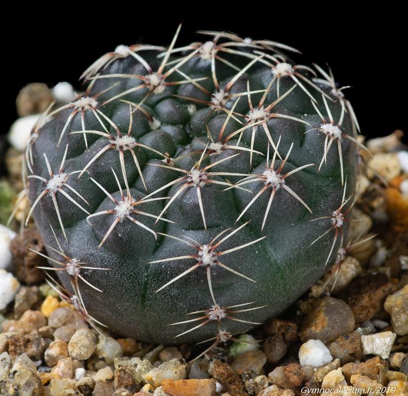 Gymnocalycium platense (schroederianum ssp. bayense WP 0113-153)