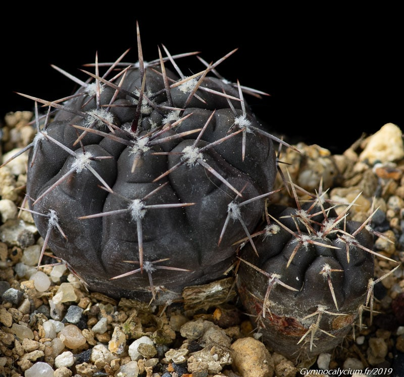 Gymnocalycium striglianum ssp. aeneum MM 0778